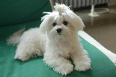 Maltese Toy, Inga, seven months old