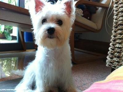 Maltese Westie Puppies