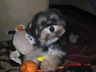Benji the Maltese Yorkie mix playing with his toys