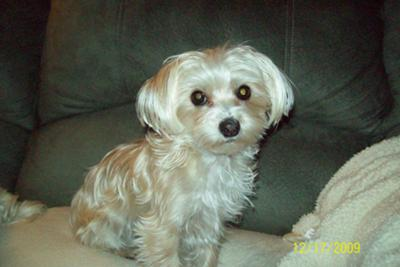 Maltese Yorkie Mix - Gracie