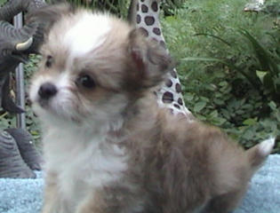 Giorgio as a puppy
