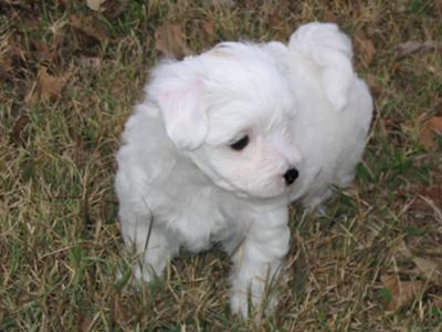 Who's one of the cutest Maltipoo puppies ever?