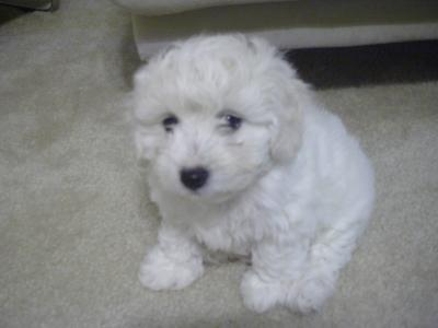 One of the cutest Maltipoo puppies ever!
