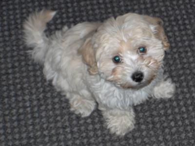 Maltipoo Puppies on Malti Poo Puppy   Mickey