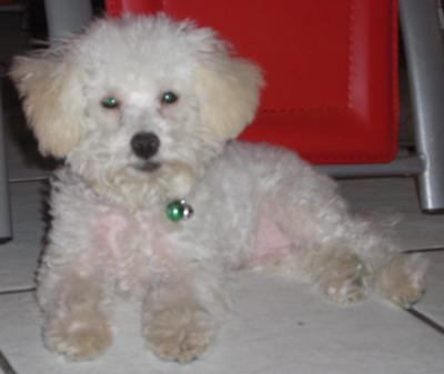 Huggie: world's most lovable Maltipoo