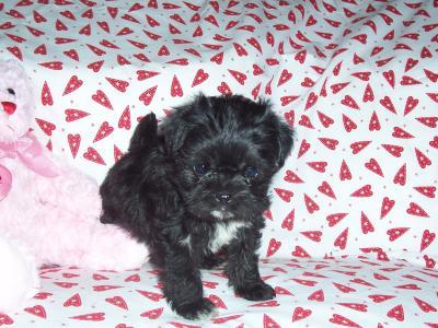 Malti-Pug Puppy