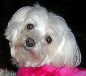 Maltese dog face