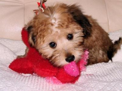 Mauxie Puppies Valentines 2008. My Mauxie puppy Gracie was born on