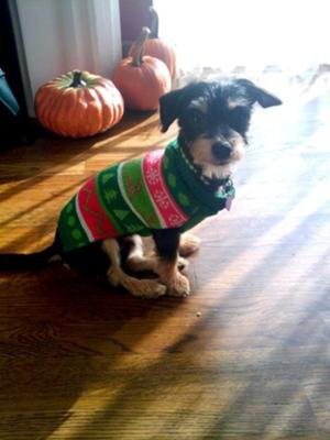 Simba in his Christmas sweater!