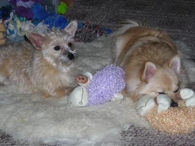 Chrystie is of course the dog on the left with the purple lamb toy with her brother Hooch the pom on the right with the orange lamb