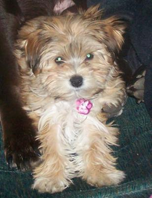 Beautiful Bailey Morkie