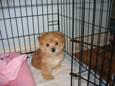 yorkie poo puppies for sale in sparta ...