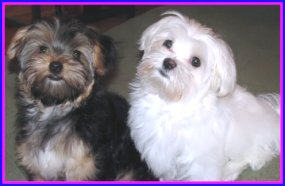 Cricket and Bailey the Morkie puppies