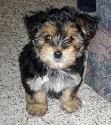 Morkie Puppies on Morkie Puppies   Jenkins