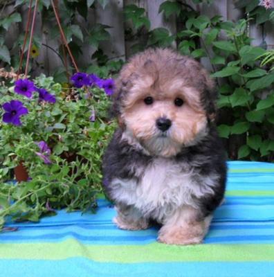 Morkie Puppies on Morkie Puppies   Oscar