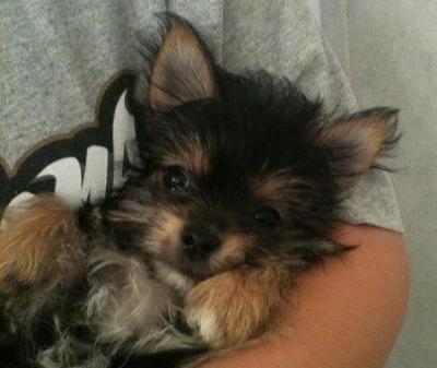 Morkie Puppies on Morkie Puppy Dog   Harley