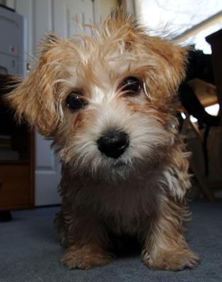 Morkie Puppy - Mindy