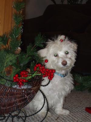 Max the Maltese Christmas Elf