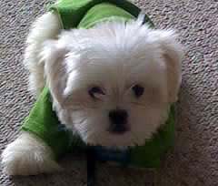 Maltese puppy all dressed up
