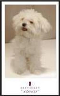 Maltese pup Noonie