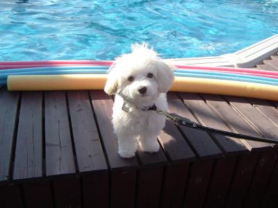 Charger the Maltese, poolside