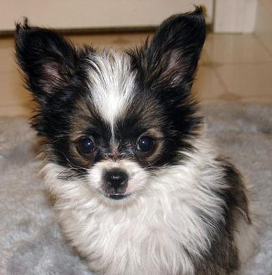 Cutest Papillion mix ever!