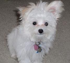 Maltese Papillon Puppy - Sadie