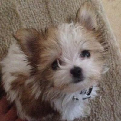 Yorkie Maltese Mix For Sale | Dog Breeds Picture