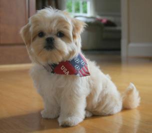 Pekingese Maltese puppy - Carmen