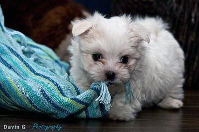 Playful Maltese Puppy - Marley