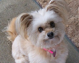 Is A Maltipom The Right Maltese Mix For You