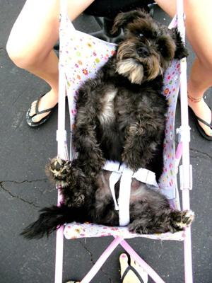 Elvis LOVES riding in strollers! Not kidding! He is a very lazy boy :)