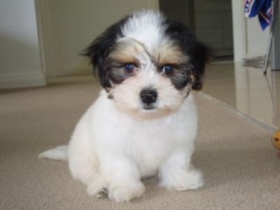 Shitzu Puppies on Shih Tzu Maltese Puppy   Button
