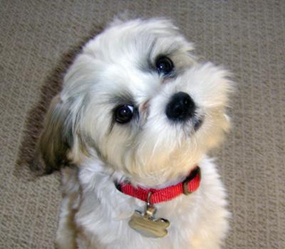 Shitzu Maltese dog Sam