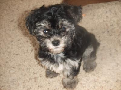 Princess Sophie the Morkie Puppy!