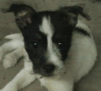Maltese/Rat terrier Mix Puppy - Price: 150.00 for sale in Pikeville ...