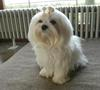 Maltese Toy, Inga, eleven months old