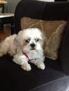 Beethoven my Shih-Maltese mix is very materialistic! Loves his toys!