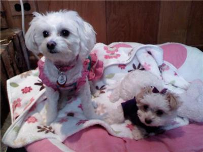 This is Lulu and her baby sister Daisy. Both have the same parents; chihuahua mommy and maltese daddy