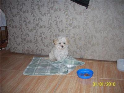 She is a tiny female Maltese