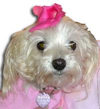 Maltese dog in pink