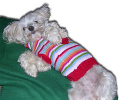 Maltese dog rolling over