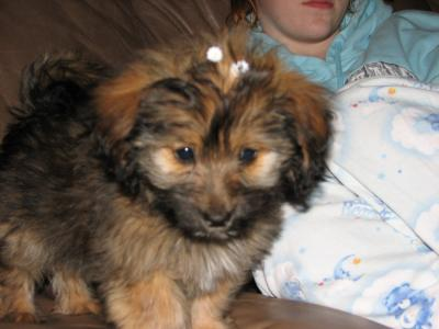 Roxie the Mauxie puppy