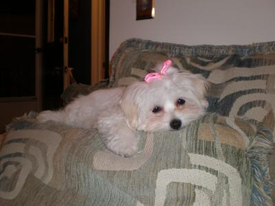 Day after first Maltese grooming - 12 wks.