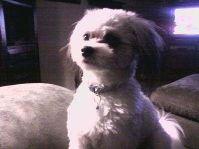 Cute Japanese Chin Maltese Mix