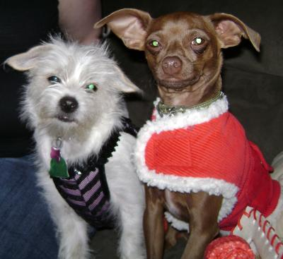 Coco the Malchi and Louie the Chihuahua on Christmas Eve
