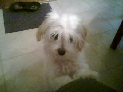 Crested Chinese Maltese mix looking for a girlfriend