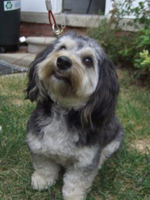 Dachshund Maltese Mix - Snickers