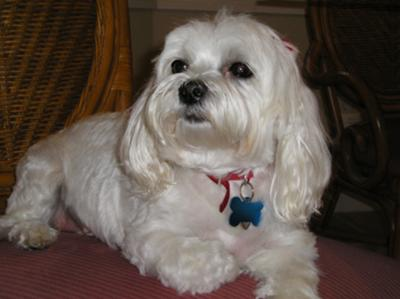 Maddie the Maltese rescue
