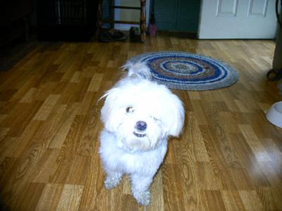 My Maltese puppy MOLLY